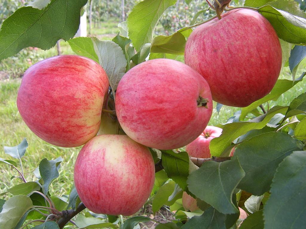 стимулятор яблоня