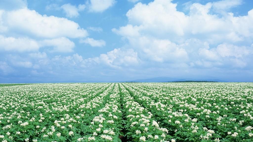 регулятор роста для картошки