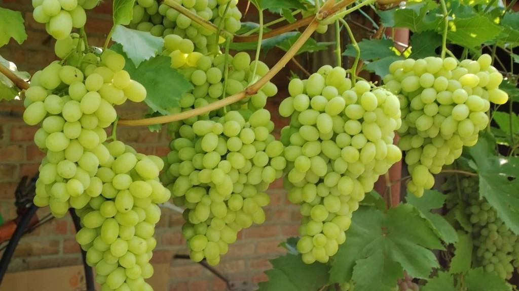 стимулятор виноград
