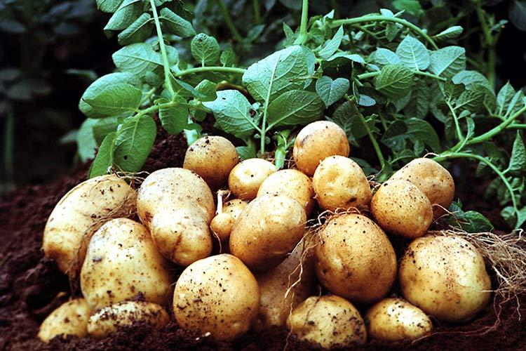стимулятор роста для картошки1