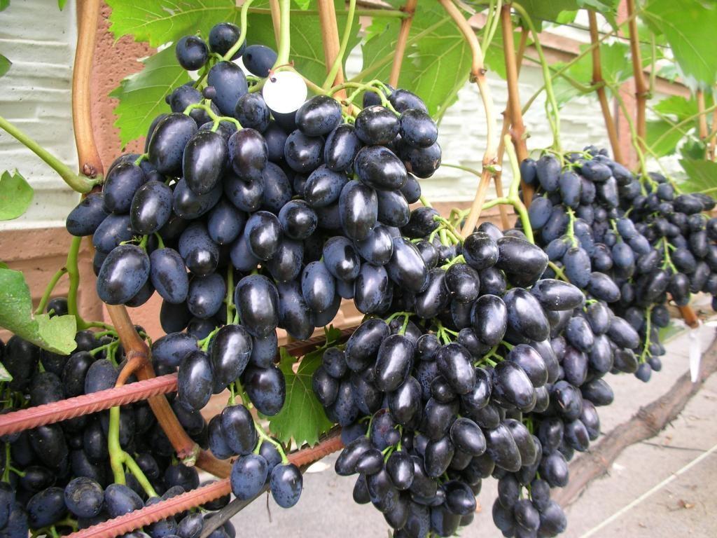 регулятор виноград