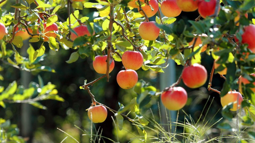 регулятор яблоня