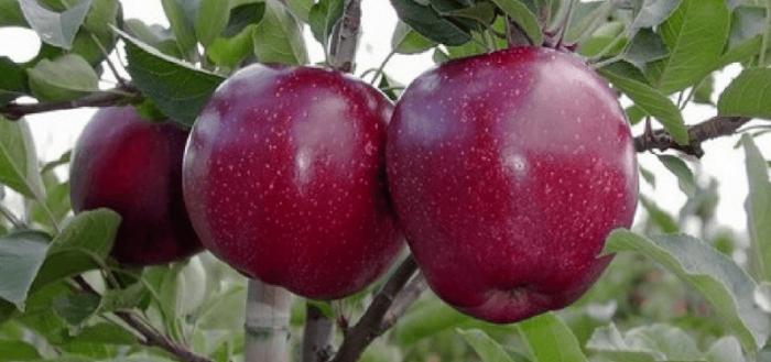 зеребра яблоня